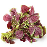 Buy Koshala Saaga - Amaranth Leaves Online