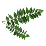 Buy Curry Leaf - karipatta - Bhrusanga Online
